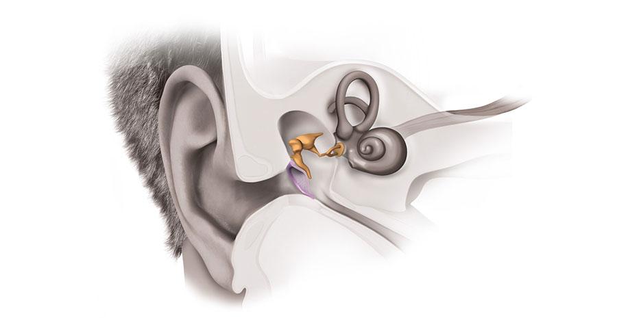 گوش داخلی و آناتومی آن